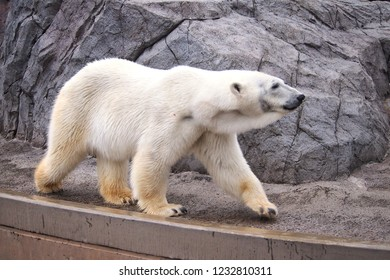 Polar Bear in Asahikawa zoo