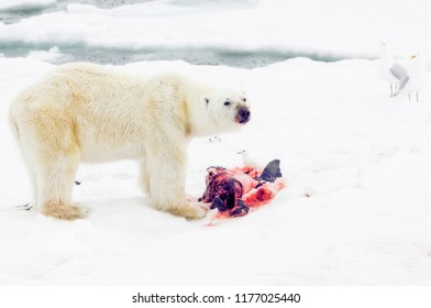 Polar Bear with Beluga Whale Kill on the Ice Pack in the Arctic Ocean off the Coast of Norway. Ivory & Glaucous Gulls Wait Their Turn to Feast.