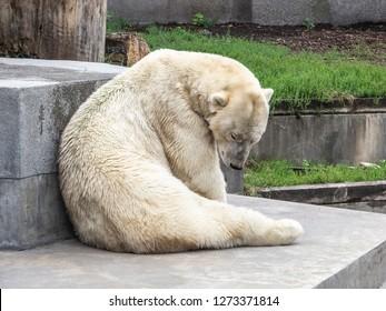 polar bear in the city zoo
