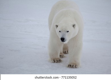 Polar Bear Close to the Camera
