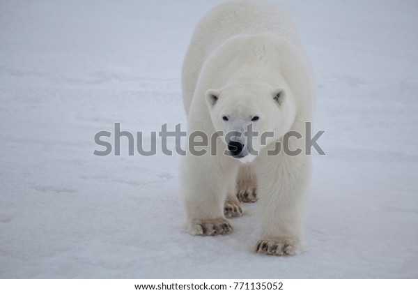 Polar Bear Close to the Camera