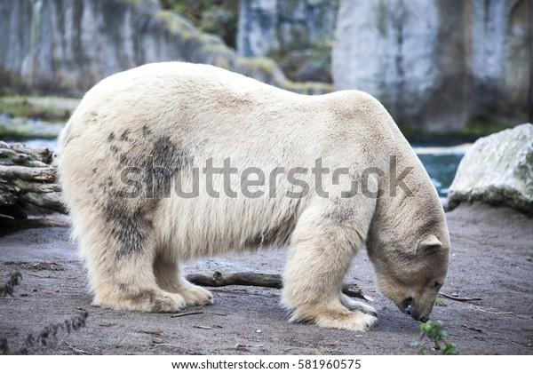 Polar bear close-up at the zoo.