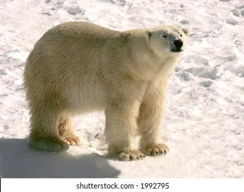 polar bear at cochrane ontario