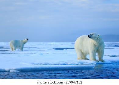 Polar bear couple cuddling on drifting ice in Arctic Svalbard.