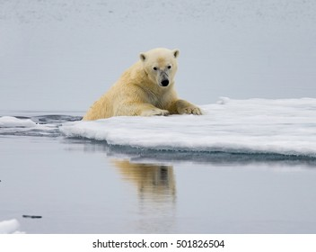 Polar bear  crawls up on floating  ice
