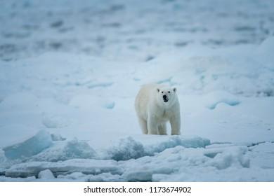 Polar Bear and Cub hunting seals
