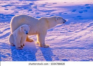 Polar bear with cub on Canadian Arctic tundra