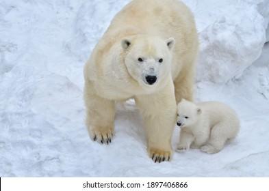 Polar bear with cub in the snow.