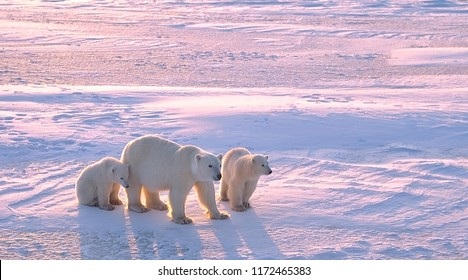 Polar bear with cubs in Canadian Arctic