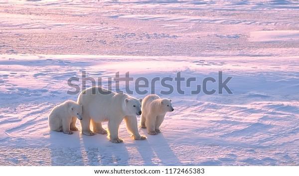 Ours polaire avec des oursons dans l'Arctique canadien