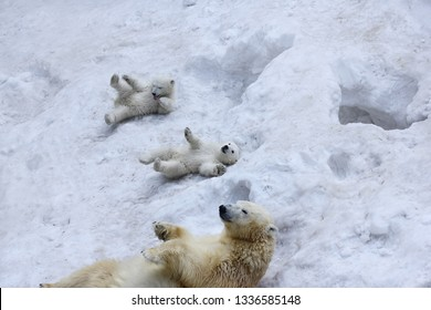 Polar bear with cubs on snow.  Polar bear mom with twins.