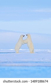 Polar bear dancing fight on the ice. Two bears love on drifting ice with snow, white animals in nature habitat, Svalbard, Norway. Animals playing in snow, Arctic wildlife. Funny image in nature.
