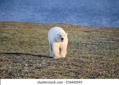 Polar bear in dark and lifeless Arctic desert. Problems with food, reduce population of bears in Kara sea. Coming right at the photographer. Hungry bear is angry bear, dangerous animal