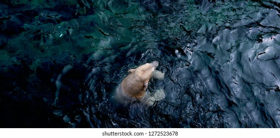 Polar bear in the deep blue ocean search for food and ice floe in the Antarctic, climate change