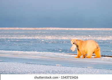 Polar bear eating a piece of whale while walking on ice in the village of Kaktovik, Barter Island, Alaska.