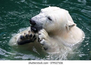 polar bear eating in the water