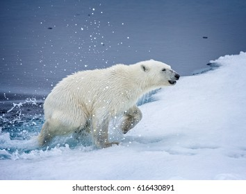 Polar bear exiting the water on to the ice floe in Arctic
