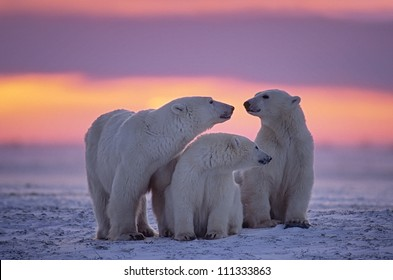 Polar bear family in Canadian Arctic sunset.