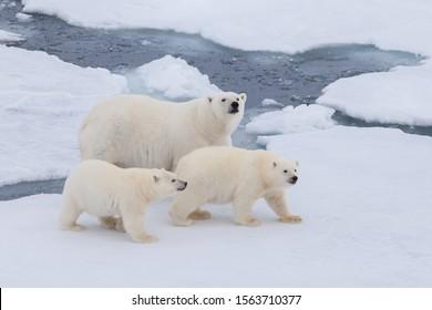 Polar bear family is walking on the ice