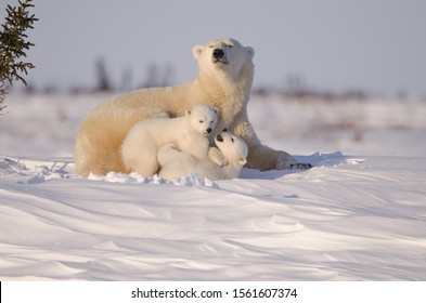 Polar bear family in Wapusk National Park. Mother and two playing cubs in the Arctic Tundra. Soft evening light.