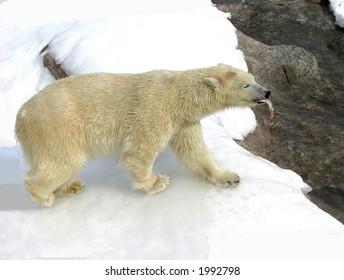 polar bear with fish