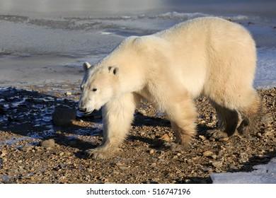 A polar bear goes on the shore of the Hudson Bay