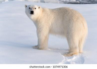 Polar Bear in golden light, looking at the camera