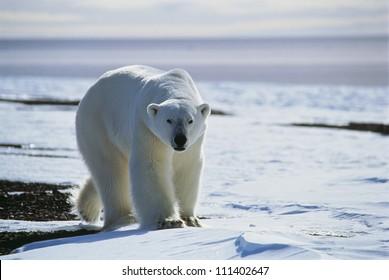 Polar bear, Greenland