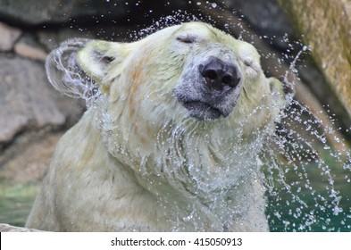 Polar Bear Head Shake