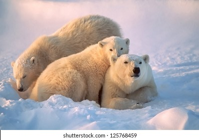 Polar bear with her cubs, together for warmth and protection.
