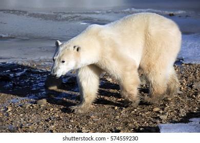 A polar bear at the Hudson Bay in Canada