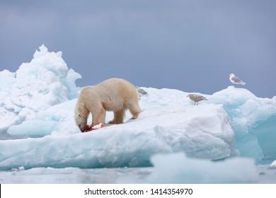 Polar bear hunting. Killed walrus and blood around. Svalbard.