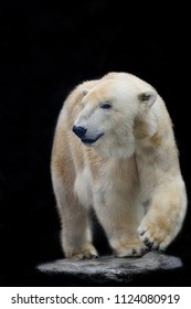 Polar Bear isolated on the black background