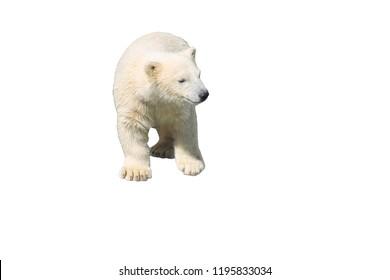 Polar bear isolated on white background, animal
