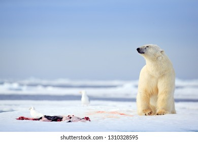 Polar bear with killed seal. White bear feeding on drift ice with snow, Svalbard, Norway. Bloody nature with big animals. Dangerous animal with carcass of seal. Arctic wildlife, animal behaviour.