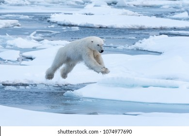 Polar Bear leaping a gap in the ice. In mid-air.