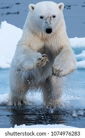 Polar Bear leaping, head on, close-up