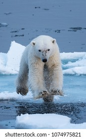 Polar Bear leaping over water, head-on, all four feet off the ground