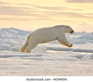 Polar bear leaping in the snow.  Horizontally framed shot.