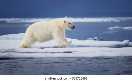 A polar bear leaps across an ice floe in the Svalbard Archipelago.