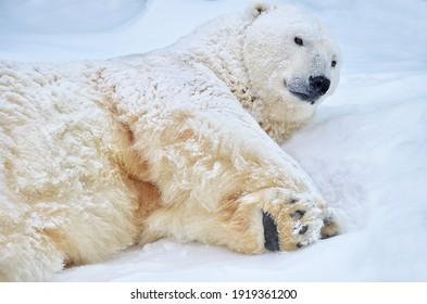 A polar bear lies on the snow