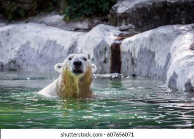 Polar bear looking
