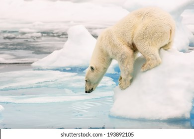 polar bear looking into water from arctic ice floe