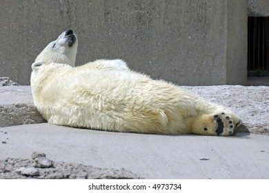 A polar bear lounging on rocks with head tilting up