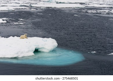 Polar bear lying on ice floe floating in the middle of the pack. Spitsbergen.