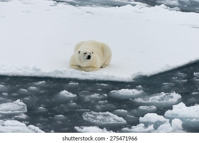 Polar bear lying on ice floe of the pack. Close view. Spitsbergen.