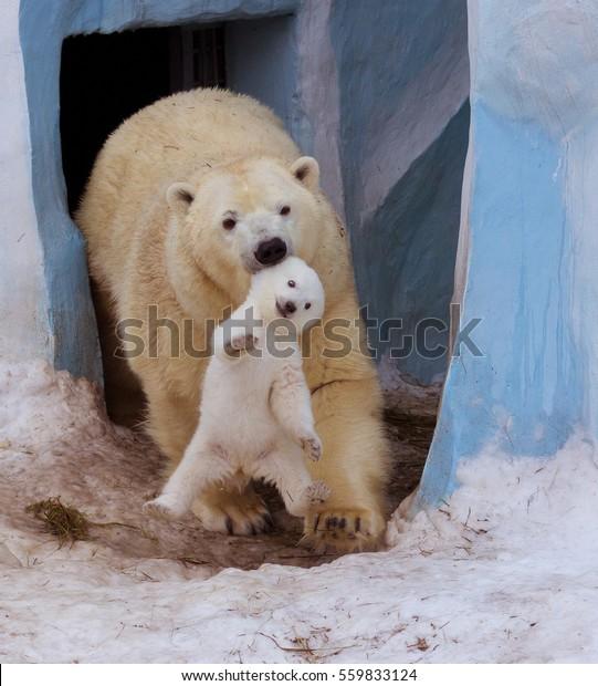 Polar bear with mom