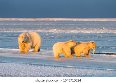 Polar bear mom and two polar bear cubs fighting for a piece of whale in the village of Kaktovik, Barter Island, Alaska