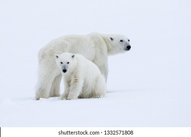 Polar Bear mother and cub alert to the presence of humans in their frozen world, Svalbard.