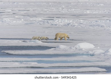 Polar bear mother (Ursus maritimus) and twin cubs on the pack ice, north of Svalbard Arctic Norway